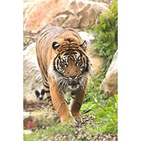 Tigre Stage d'aquarelle